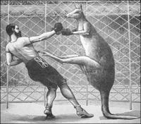Kangaroo-boxing